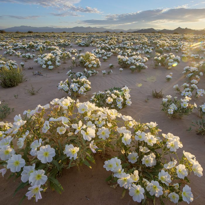 https://www.goodfreephotos.com/united-states/california/other/white-flowers-in-the-desert-in-the-cadiz-wilderness.jpg.php