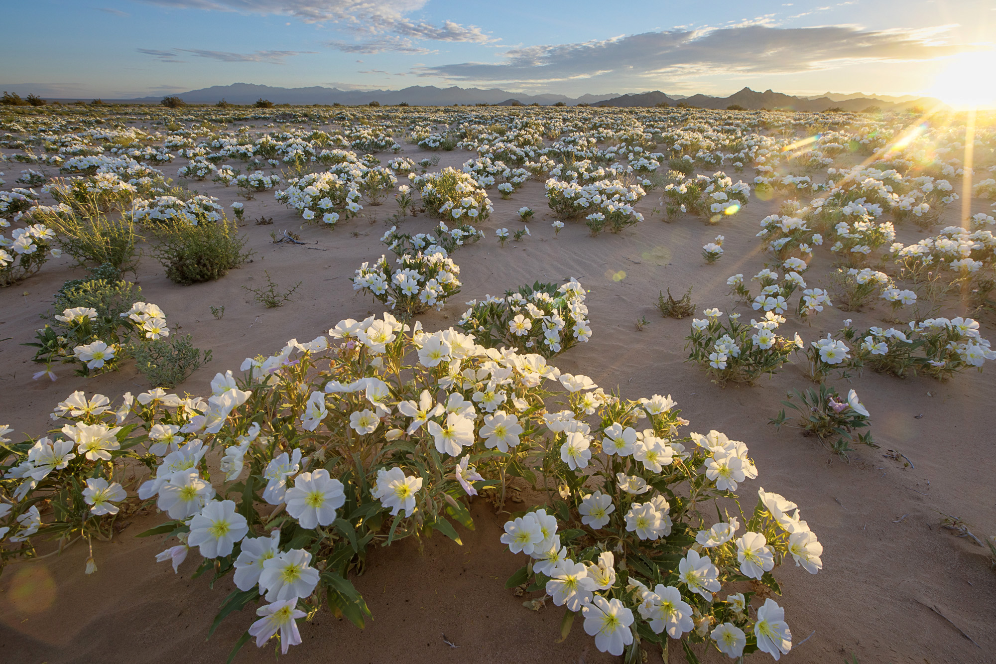https://www.goodfreephotos.com/united-states/california/other/white-flowers-in-the-desert-in-the-cadiz-wilderness.jpg.php